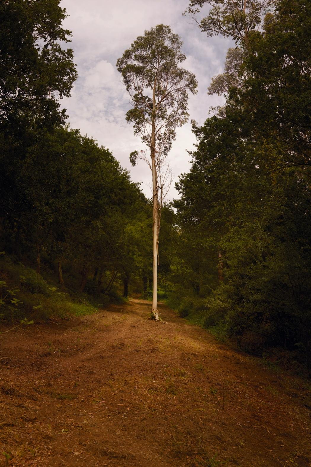 Ellenkooi singletree-eucalyptus srgb Ellen Kooi